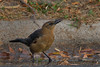 Great Tailed Grackle (b0773)
