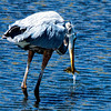 CAPTION: Great Blue Heron LOCATION: Lynx Lake, Prescott, Arizona DATE: 5-2-13 NOTES: HEADING: