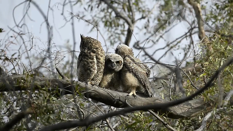 "Great Horned owlets (now ""branchers"") reunite several days after Bubo One flew the coop, 8-May-2013"