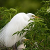 Great Egret with baby chicks