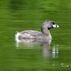 British Columbia, Green Timbers Urban Forest, pied-billed grebe: Podilymbus podiceps, Surrey