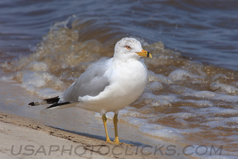 Ring Billed Gull (b0881)