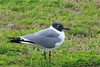Laughing Gull (b0873)