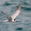 Tern, The Broadwater, Gold Coast, Queensland.