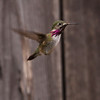 Calliope Hummingbird_Ventura_VenCo_CA_22April2012-5002