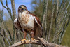Ferruginous Hawk (b0921)