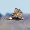 northern harrier: Circus cyaneus, Russell Road, female