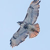 Jack Pine Trail, red-tailed hawk: Buteo jamaicensis