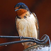 Barn Swallow (female)