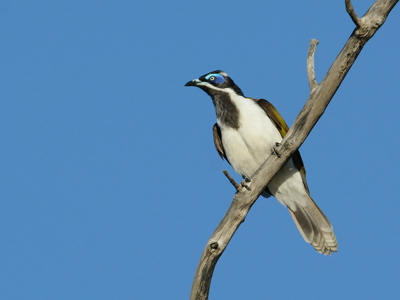 Blue-faced Honeyeater, Federation Walk Coastal Reserve.