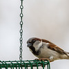 Male House Sparrow Marion County Missouri