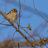 Female House Sparrow Marion county Missouri