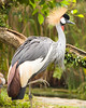 Grey Crowned Crane {Balearica regulorum}<br /> Jurong Bird Park <br /> Singapore <br /> © WEOttinger, The Wildflower Hunter - All rights reserved<br /> For educational use only - this image, or derivative works, can not be used, published, distributed or sold without written permission of the owner.