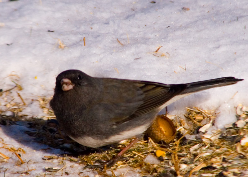Dark-eyed Junco {Junco hyemalis}<br /> My Yard<br /> Natick, MA <br /> © WEOttinger, The Wildflower Hunter - All rights reserved<br /> For educational use only - this image, or derivative works, can not be used, published, distributed or sold without written permission of the owner.