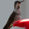 Did we catch this young male Ruby-throated?