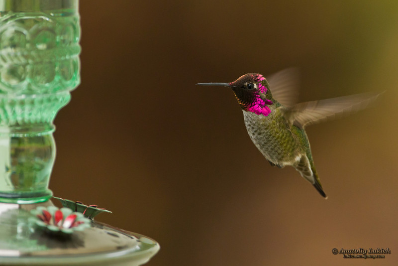 Hummingbird and feeder.  Side view of hummingbird hovering next to a bird feeder.