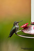 Hummingbird and feeder.  Side view of hummingbird's sitting on a bird feeder.
