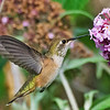 Rufous Hummingbird hovering at flower near Olympia, Wa