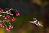 Hummingbird with a branch of red berries.  Side view of hummingbird hovering next to a branch of red berries.