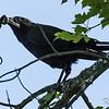 American crow: Corvus brachyrhynchos, Common Garter Snake: Thamnophis sirtalis<br /> A number of crows were ahead on the road when I saw one pick up the snake. Fortunately after it flew into a tree, distracted by other crows in hot persuit, it allowed me close enough to take some shots.