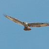 Ferruginous Hawk 2013 043