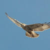 Ferruginous Hawk 2013 056