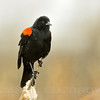 Male Red-winged Blackbird, Shollenberger Park, Sonoma County, CA, 3-2-14. Cropped image.
