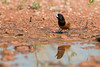 Dark-headed Munia