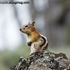 Golden-mantled Ground Squirrel - Yellowstone National Park