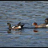 Eurasian following American Wigeon, Robb Field, San Diego River, San Diego County, California, February 2014