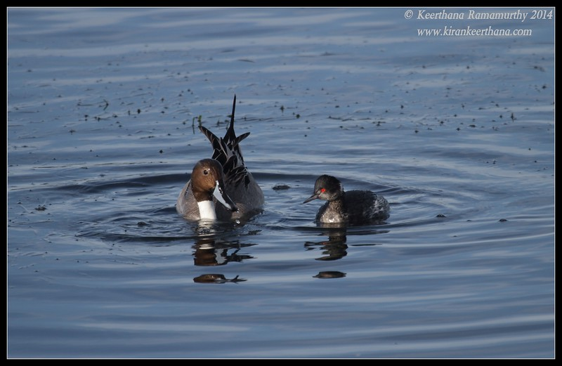 Northern Pintail Drake and Eared Grebe discussing fishing, Robb Field, San Diego River, San Diego County, California, February 2014