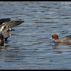 American Wigeon on the left, rare visitor Eurasian Wigeon on the right, Robb Field, San Diego River, San Diego County, California, February 2014