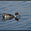 Northern Pintail Drake, Robb Field, San Diego River, San Diego County, California, February 2014