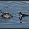 Northern Pintail Drake being watched by an Eared Grebe, Robb Field, San Diego River, San Diego County, California, February 2014