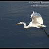 Great Egret, Robb Field, San Diego River, San Diego County, California, February 2014