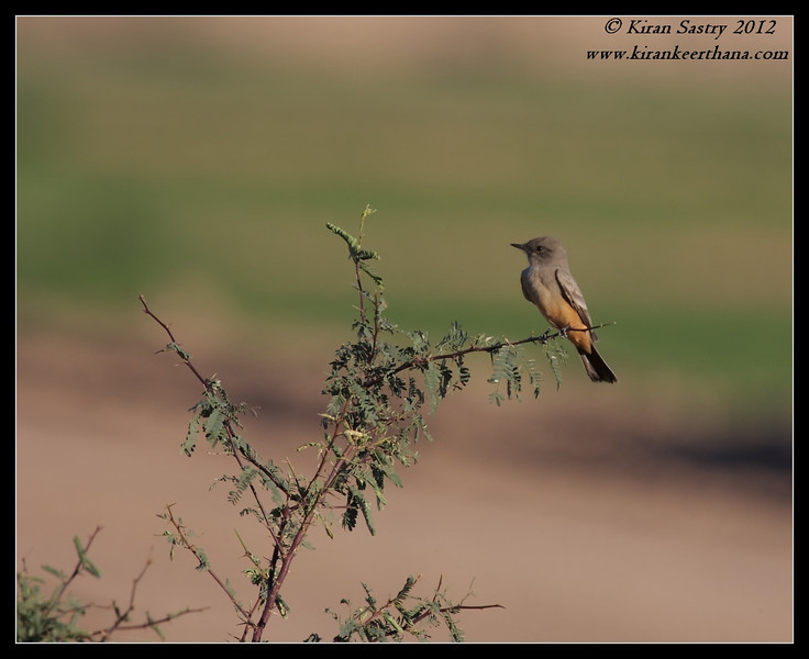 Say's Phoebe, Cibola National Wildlife Refuge, Arizona, November 2012