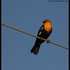 Yellow-headed Blackbird, Cibola National Wildlife Refuge, Arizona, November 2012