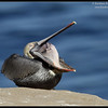 Brown Pelican yawning, La Jolla Cove, San Diego County, California, December 2011