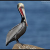Brown Pelican in breeding plumage, La Jolla Cove, San Diego County, California, December 2011