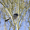 Black-tailed-Gnatcatcher_Quartzsite_AZ-4019