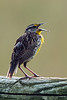 singing eastern meadowlark