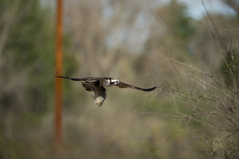 Osprey heads for the fields while being pursued by two Red-tailed Hawks, 3-9-14.