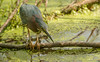 Green Heron on the hunt