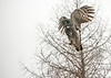 Great Gray Owl spotting prey in snow
