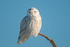 Snowy Owl on perch