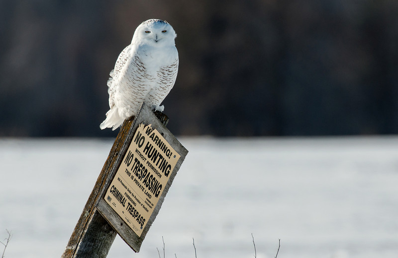 Trespassing male Snowy Owl
