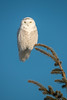 Male Snowy Owl on perch