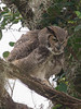 Great Horned Owl Father - Set to Fly February 16, 2013 - David Hall