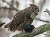 Great Horned Owl Father - Food for Family February 16, 2013 - David Hall