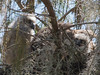 Great Horned Owl Mother and Chicks March 7, 2013 - David Hall